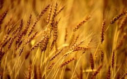 Wheat Field Background | 1680 x 1050 | Download | Close 876