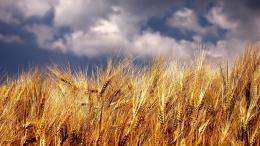 Download Wheat field wallpaper 886