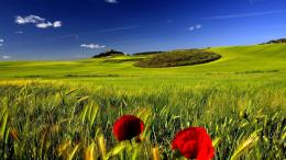 Landscape Poppies In The Green Wheat Field Wallpaper 1920×1080 1053