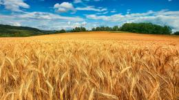 Wheat Field Wallpapers 848