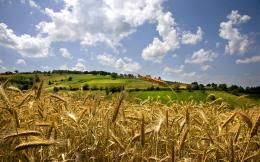 Wheat Field Wallpapers 1243