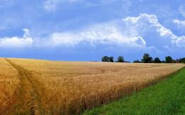 Wheat field wallpaper 1236
