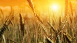Download Wheat field wallpaper 1805