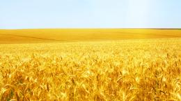 Download Wheat field wallpaper 1906