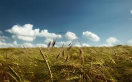 Wheat field wallpaper 157