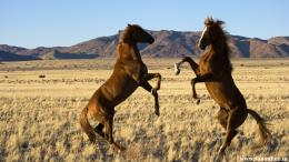 wild horses wallpapers 817