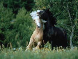 wild horses wallpapers 159