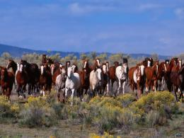 Download wallpaper The herd of wild horses: 974