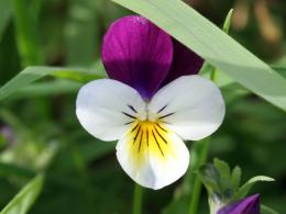 Desktop wallpapers of a purple and white wild pansy voila 1616