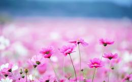 Pink Flower PC Wallpaper 307