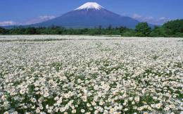 wallpapers fuji and wild flower fuji and wild flower free wallpapers 292