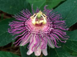 wallpapers flowers gardens backgrounds wild passion flower wild 1658