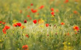 com wallpaper wallpaper wild poppy flower field wallpapers htm 1368