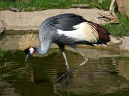 African Crowned Crane Birds Wallpapers 1688
