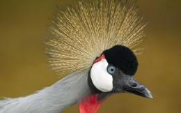 African Crowned Crane Birds Wallpapers 1341