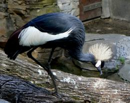 african crowned crane high definition wallpapers lovely desktop 1797