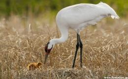 Mother Crane trying to feed her Baby 1556