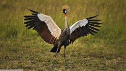 African crowned crane bird animals 183