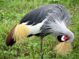 Beautiful Crowned Crane Bird 338
