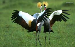 Grey Crowned Cranes wallpaper 1280x800 1323