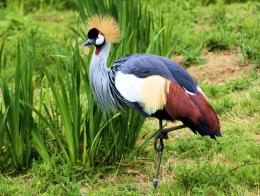 Bird Grey Crowned Crane 1627