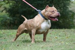 american pit bull dog american pitbull dog background image 1471
