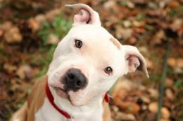 cute pitbull dog pics fresh new hd wallpapers of pitbull dog 320