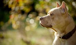lovely American Pitbull Dogs desktop Wallpaper 1012