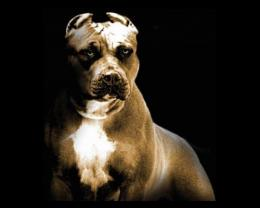 American Pitbull Dogs Wallpapers & Pics 2013 1827