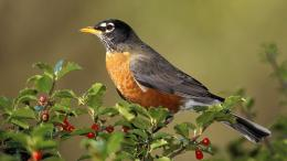 american robin birds hd wallpapers top images free download 155