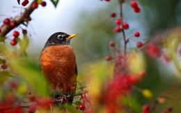 Home » animalswild » Birds » Others » American Robin Wallpaper 1003