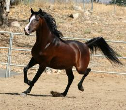 Arabian Horse HD Wallpapers 448