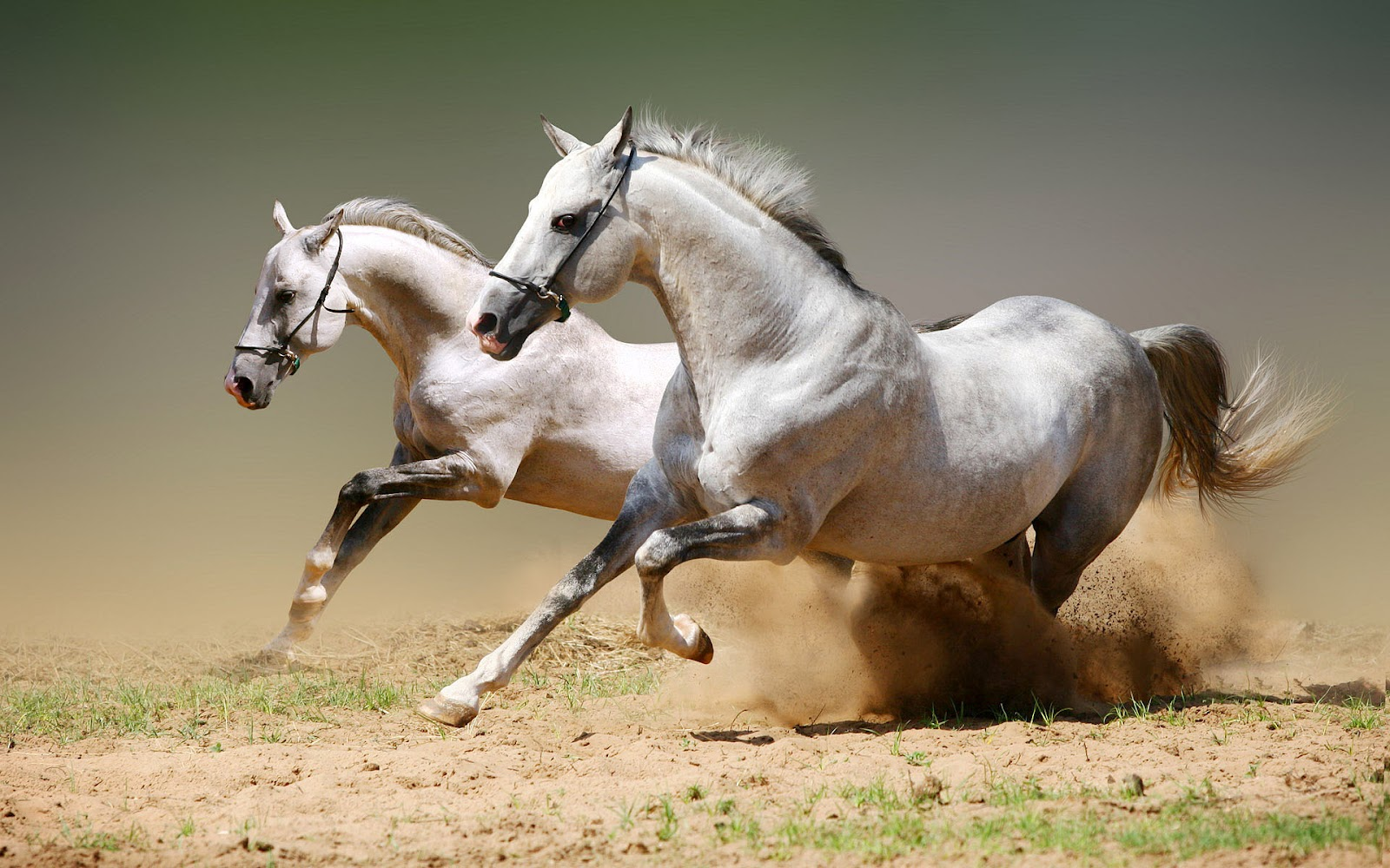 HD animal wallpaper with white horses running fast | Horse wallpaper 1075
