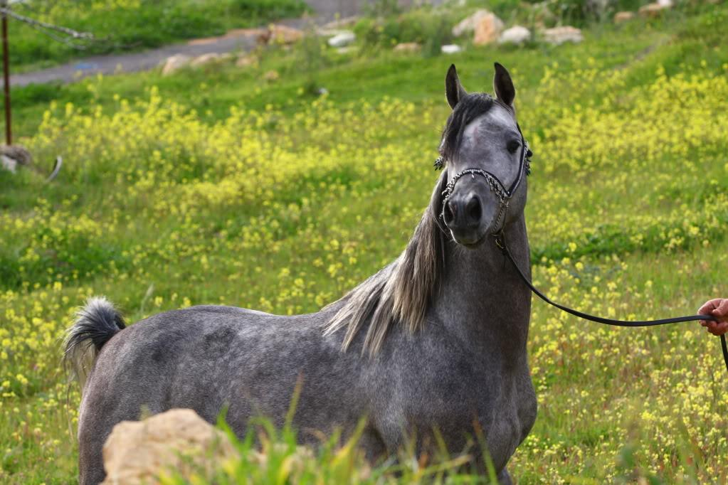 beautiful arabian horse hd wallpapers best background horse images 1446