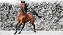 Animals horses brown equestria arabian horse wallpaper 740