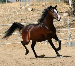 Arabian Horse HD Wallpapers 1543