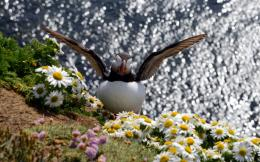 Puffin Bird Wallpapers, Atlantic Bird Flying 1059