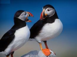 Atlantic Puffin Bird Desktop Wallpapers 1659