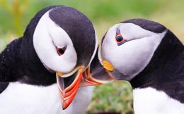 Atlantic Puffin Bird Desktop Wallpapers 1957