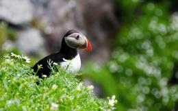Atlantic Puffin Bird Desktop Wallpapers 1097