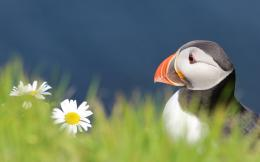 puffin desktop animal seabird atlantic puffin atlantic puffin bird 1262