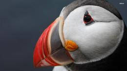 Animals Bird Atlantic Puffin Puffin 790