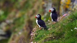 Atlantic Puffin Bird Desktop Wallpapers 1406