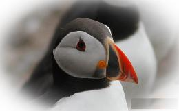 Atlantic Puffin Bird Desktop Wallpapers 947