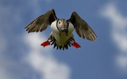 Atlantic Puffin Bird Desktop Wallpapers 1568