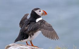 AnimalPuffin Atlantic Puffin Wallpaper 300