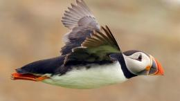 Atlantic Puffin Bird Desktop Wallpapers 1141