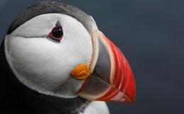 Atlantic Puffin Bird Desktop Wallpapers 1825