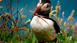 Atlantic Puffin Bird Desktop Wallpapers 967
