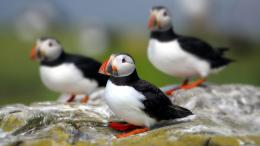 Atlantic Puffin Bird Desktop Wallpapers 492
